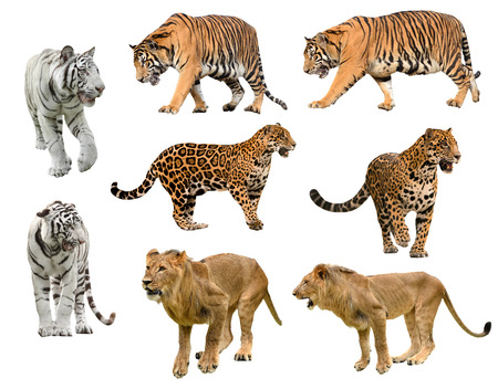 collection of big cat (panthera) isolated on white background