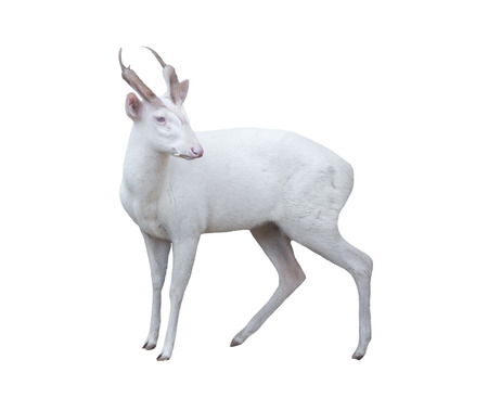 asia deer: albino barking deer isolated on white background