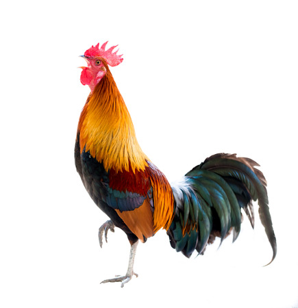 colorful rooster Isolated on white background photo