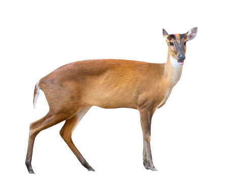 asia deer: barking deer isolated on white background