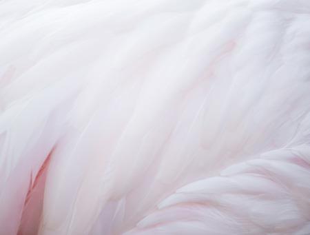 pluma: textura de la hermosa pluma flamenco Foto de archivo