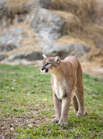 carnivora: puma or cougar in zoo Stock Photo