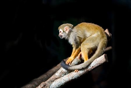 sciureus: squirrel monkey (Saimiri sciureus ) in dark background
