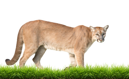 carnivora: cougar with green grass isolated on white background