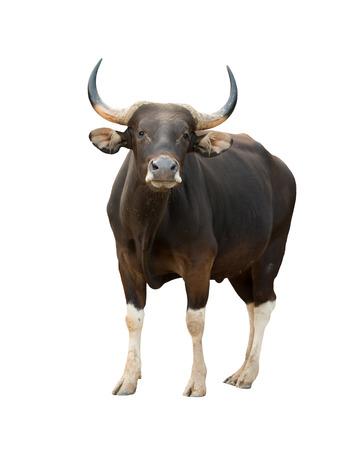 male banteng isolated on white background