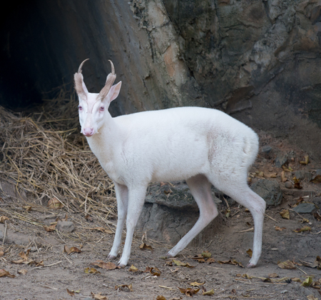 asia deer: barking deer living  in the zoo