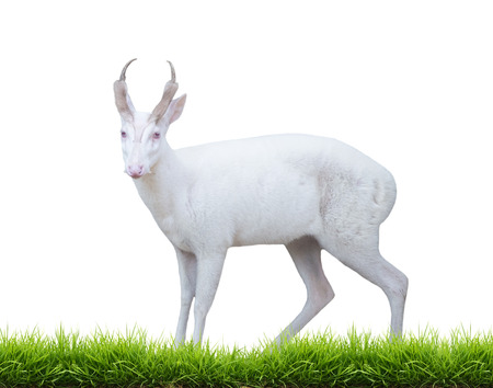 asia deer: albino barking deer with green grass isolated on white background