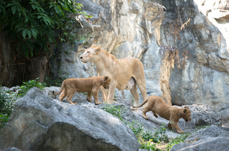 female lion: female lion standing with baby in the zoo