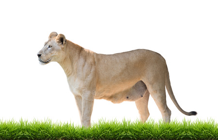 female lion: female lion with green grass isolated on white background