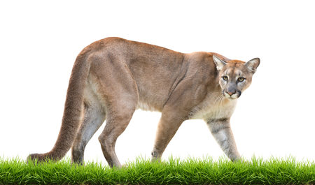 cougar: cougar with green grass isolated on white background