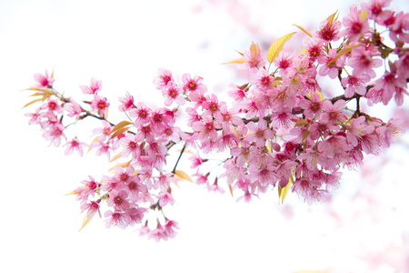 beautiful wild himalayan cherry flower ( Prunus cerasoides ) photo