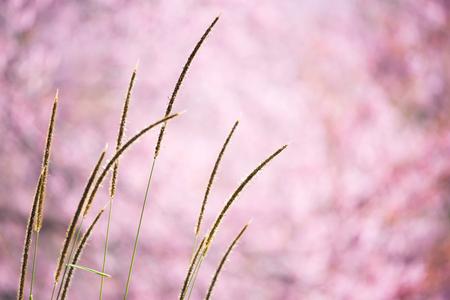 prunus: beautiful wild himalayan cherry flower ( Prunus cerasoides )