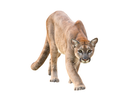 cougar: puma or cougar isolated on white background