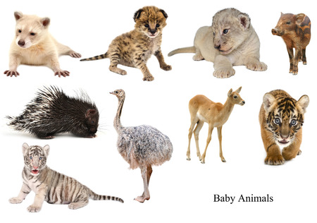 white tigers: baby animals collection isolated on white background