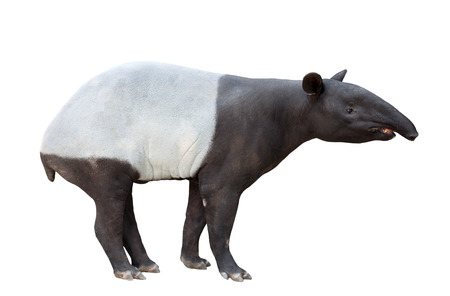 Malayan tapir or Asian tapir isolated on white background 스톡 콘텐츠