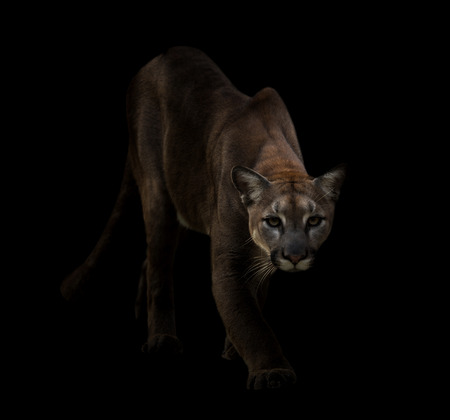 cougar: Puma is on the prowl in the dark