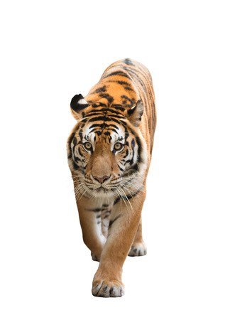 tiger white: male bengal tiger isolated  on white background