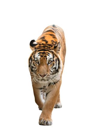 mannelijke Bengaalse tijger op een witte achtergrond Stockfoto