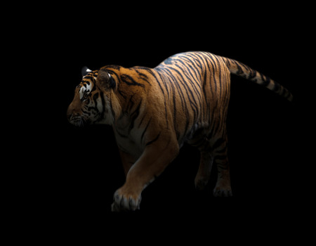 prowl: bengal tiger is on the prowl in the dark Stock Photo