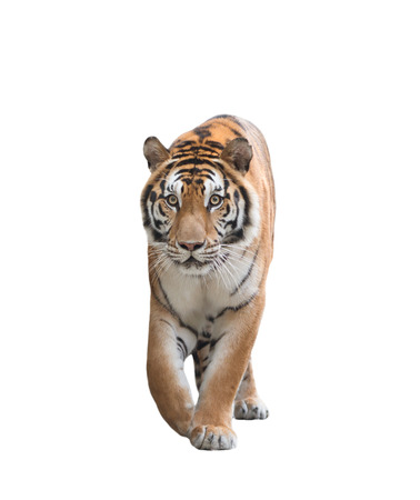 tiger isolated: male bengal tiger isolated  on white background