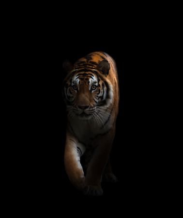 bengal tiger is on the prowl in the dark Banque d'images