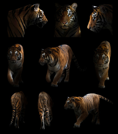 Bengaalse tijger ligt op de loer in het donker