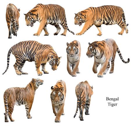 tigre blanc: tigre du Bengale m�le isol� sur fond blanc Banque d'images