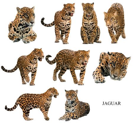 jaguar: jaguar (Panthera onca) aislado en backgrond blanco