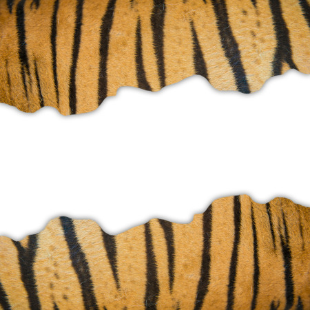 textured of real bengal tiger fur frame on white background photo