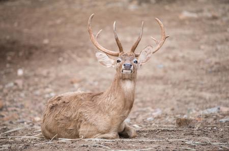 brow: male elds deer or brow antlered deer Stock Photo