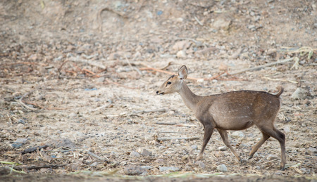 hog: hog deer or Hyelaphus porcinus