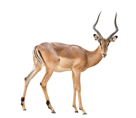 male impala isolated on white background