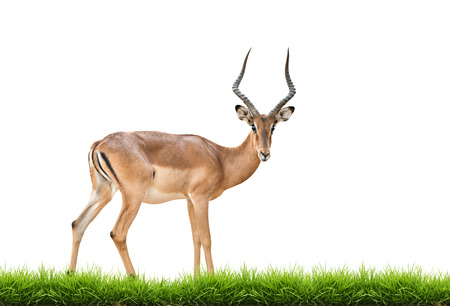 Impala: male impala with green grass isolated on white background