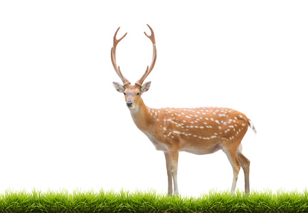 male animal: beautiful male sika deer with green grass isolated on white background