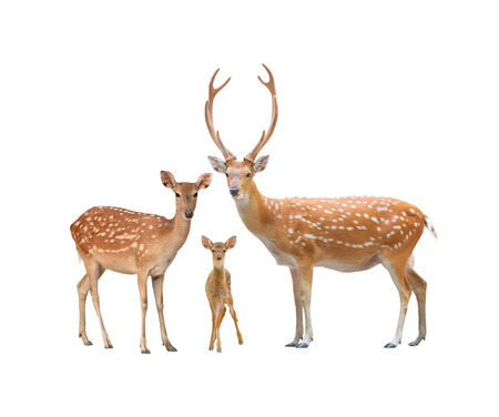 beautiful sika deer family  isolated on white background