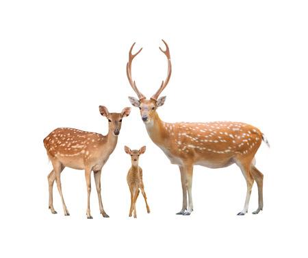 venado: hermosa familia de los ciervos sika aislado en fondo blanco Foto de archivo