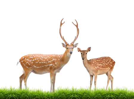 beautiful male and female sika deer with green grass isolated on white background
