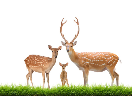 baby deer: beautiful sika deer family with green grass isolated on white background Stock Photo