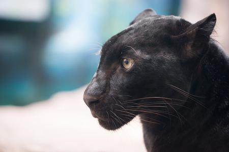 head close up: black panther head close up Stock Photo