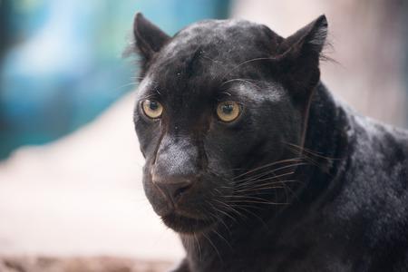 black panther head close up Stock Photo