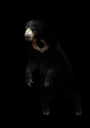 smallest: malayan sunbear standing in the dark background Stock Photo