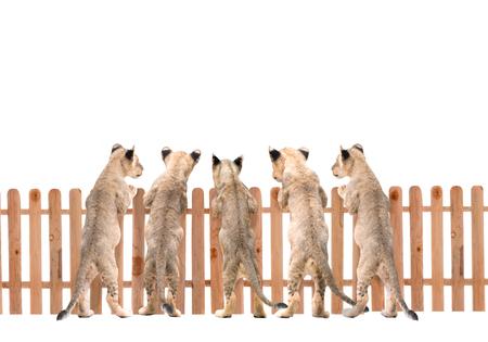 lion baby: bambino leone e recinzione in legno su sfondo bianco