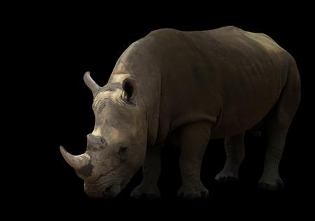 big5: white rhinoceros isolated on white background Stock Photo