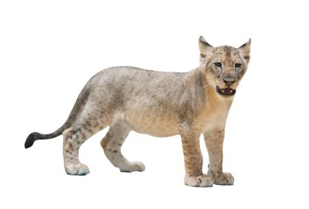 leon bebe: bebé león aislado en fondo blanco