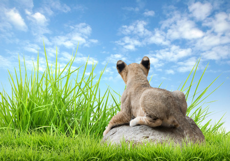 baby sit: baby lion sit on the rock with green grass and blue sky