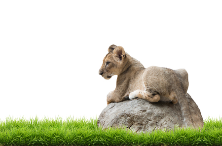 baby sit: baby lion sit on the rock isolated on white background