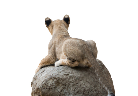 lion baby: baby lion sit on the rock isolated on white background
