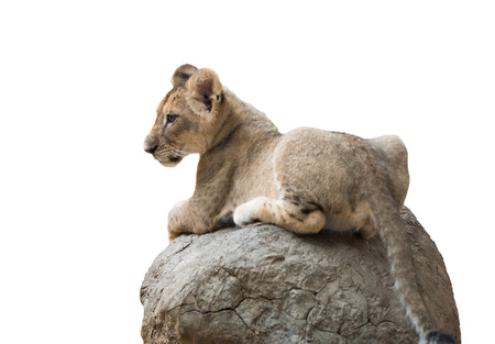 baby isolated: baby lion sit on the rock isolated on white background
