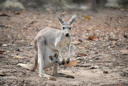 joey: female gray kangaroo with joey in pouch Stock Photo