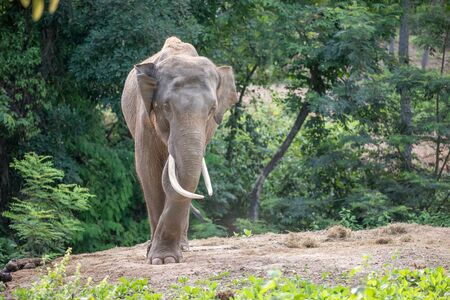 confine: male asia elephent tether with chain in thailand